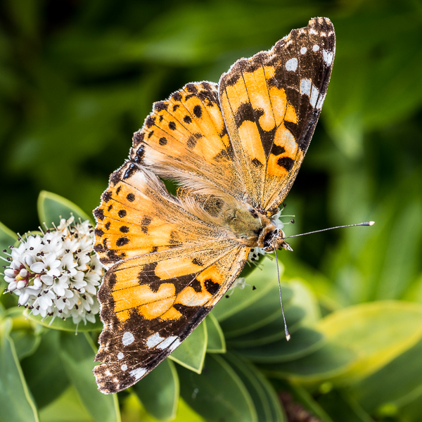 painted lady butterfly ©George Logan