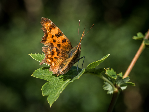 comma butterfly © George Logan